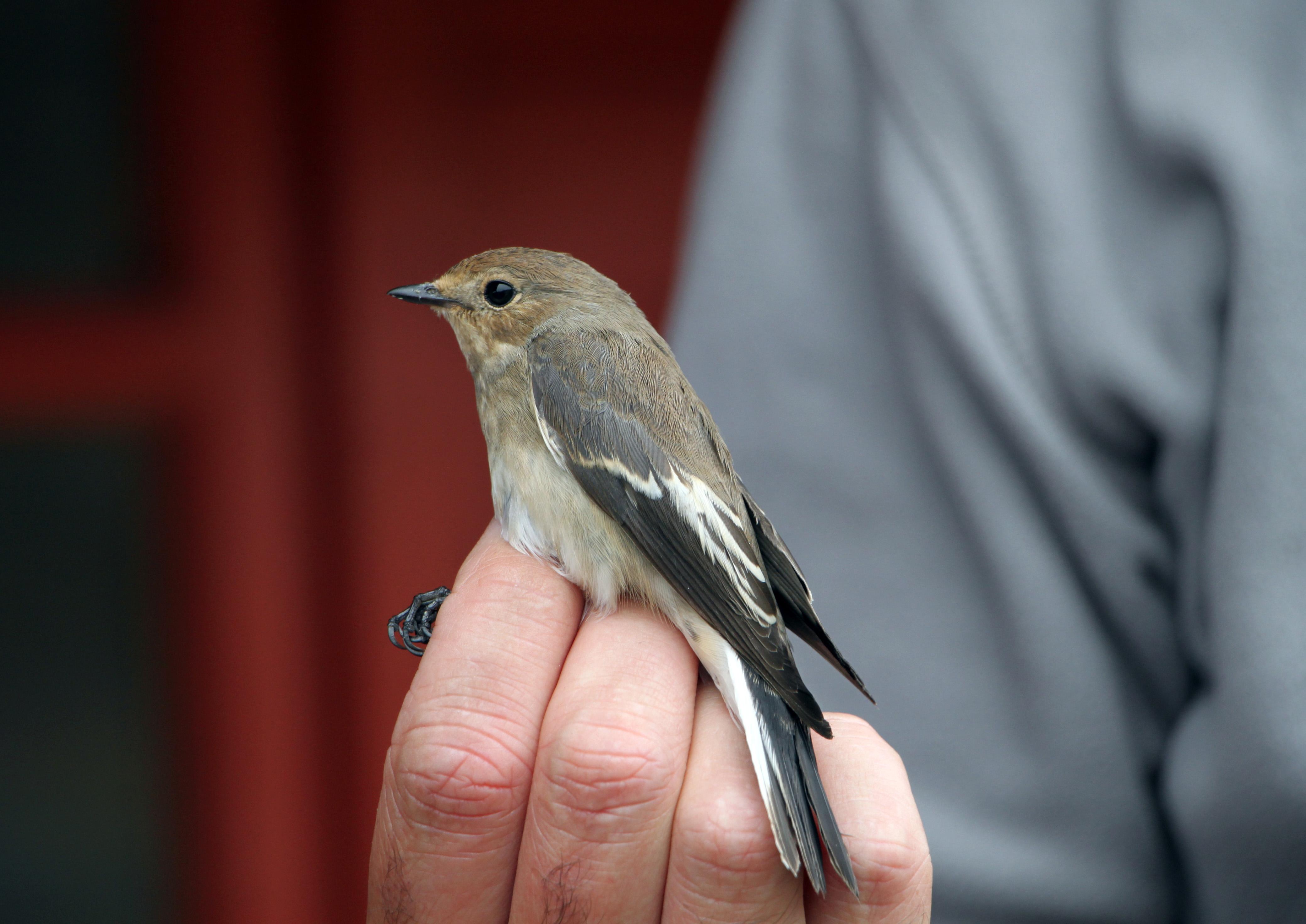 Pied Flycatcher, f, Bird ringing, Alderney, C.I.